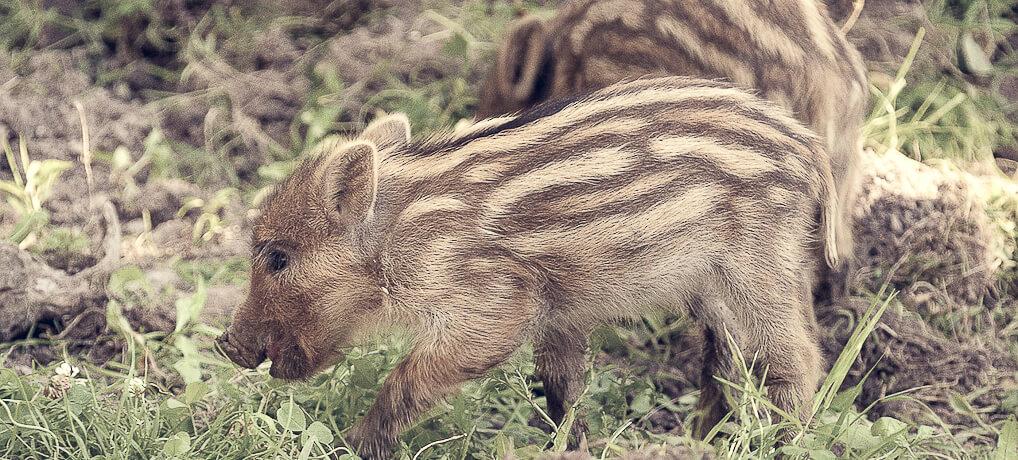 """Achtung, Wildschweine: So verhältst Du dich, wenn Du ein """"wildes Schwein"""" triffst!"""